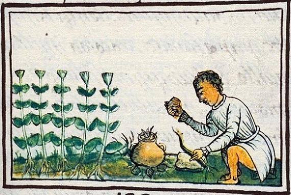 Preparando hierbas medicinales, imagen en el Códice Florentino. Nueva España, siglo XVI.